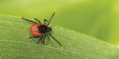 Wood Tick on a leaf